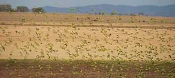 Flock of wild Australian Budgerigars Stock Photo
