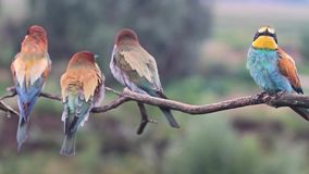 Flock of wild birds colored bee-eaters stock video