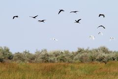 Flock of wild birds in danube delta Stock Photography