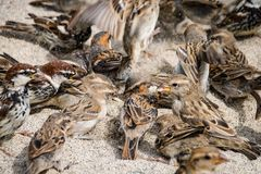 Wild sparrow bird on a sand beach royalty free stock photos