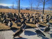 A flock of wild ducks by Daybreak lake in South Jordan Utah. Migratory birds on vacation being fed by locals. USA royalty free stock image