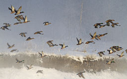 Flock of wild ducks flying in fog Royalty Free Stock Images