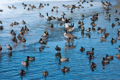Flock of wild ducks and geese. Flock of wild ducks and geese floating on the water ice Royalty Free Stock Photo