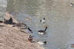 A flock of wild ducks and geese royalty free stock photo