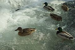 Flock of wild ducks near a winter waterfall. Flock of wild ducks mallards floating in the stream near a frozen winter waterfall Royalty Free Stock Photos