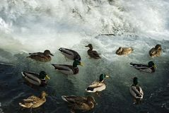 Flock of wild ducks near a winter waterfall. Flock of wild ducks mallards floating in the stream near a frozen winter waterfall Royalty Free Stock Photo