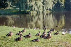 Flock of wild ducks on recreation park or zoo.  Royalty Free Stock Images
