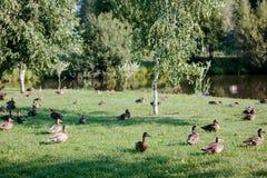 Flock of wild ducks on recreation park or zoo.  Royalty Free Stock Photo