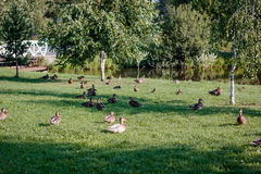 Flock of wild ducks on recreation park or zoo.  Stock Images