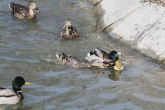 A flock of wild ducks swim in the river stock images