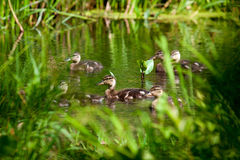 Flock of wild ducks swimming in a pond Royalty Free Stock Photos