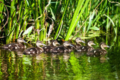 Flock of wild ducks swimming in a pond Stock Image