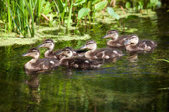 Flock of wild ducks swimming in a pond Royalty Free Stock Images