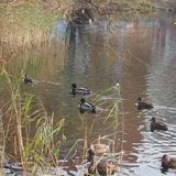 A flock of wild ducks swimming in the pond. Ducks and drakes. Royalty Free Stock Image