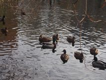 A flock of wild ducks swimming in the pond. Ducks and drakes. Royalty Free Stock Photos