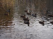 A flock of wild ducks swimming in the pond. Ducks and drakes. Royalty Free Stock Photography