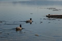 A flock of wild ducks swimming in the river after winter stock images