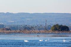 Flock of wild ducks Stock Photography
