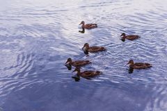 A flock of wild ducks in the water. Outdoors Royalty Free Stock Photo