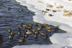 A flock of wild ducks in the winter river. Russia. Tula Royalty Free Stock Photos