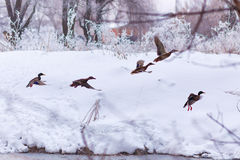 Flock of wild ducks on winter river Royalty Free Stock Image