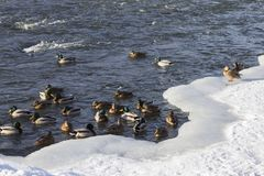 A flock of wild ducks in the winter river. Russia. Tula Royalty Free Stock Photo