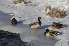A flock of wild ducks in the winter river. Russia. Tula Stock Photos