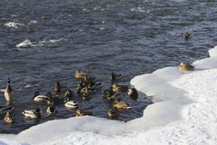 A flock of wild ducks in the winter river. Russia. Tula Stock Image