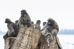Flock of wild dusky leaves monkey on tree stump Royalty Free Stock Photography