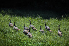 Flock Of Wild Eastern Wild Turkeys Stock Images