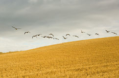 Flock of wild geese Stock Photo