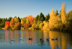 Flock of wild geese in fall forest. Focus on geese Royalty Free Stock Photos