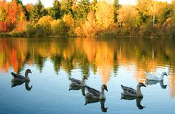 Flock of wild geese in fall forest. Focus on geese Stock Photos