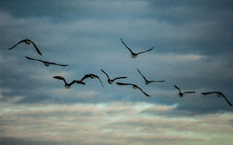 Flock of wild geese in flight Royalty Free Stock Images