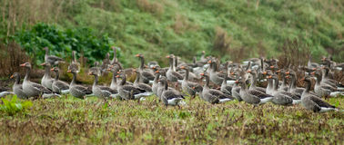 Flock of wild geese Royalty Free Stock Photos