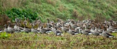 Flock of wild geese Royalty Free Stock Photos