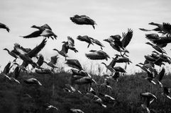 Flock of wild geese Royalty Free Stock Photography