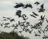 Flock of wild geese Stock Image