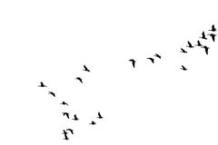 Flock of wild geese Stock Images