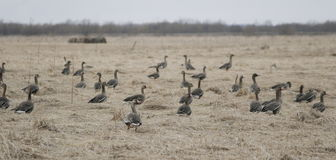 A flock of wild geese in the spring. A flock of wild geese in early spring Royalty Free Stock Photography
