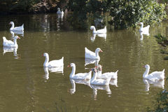 Flock of wild geese swimming Stock Photography