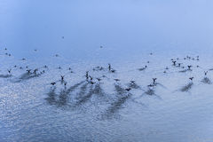 A flock of wild geese taking flight from the lake. Stock Photo
