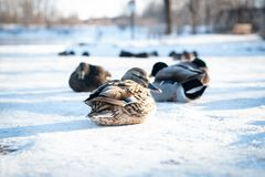 Flock of wild mallard ducks resting on delicate snow royalty free stock photography