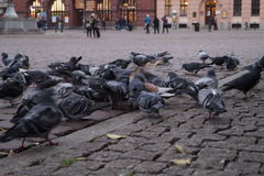 The flock of wild pigeons. Stock Image