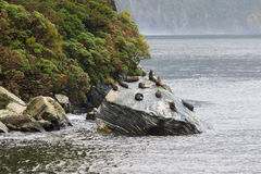 Flock of wild seal lying on rock coastal in milford sound fiord Stock Photos