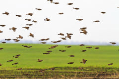 Flock of wild sparrow flying over field Royalty Free Stock Photography