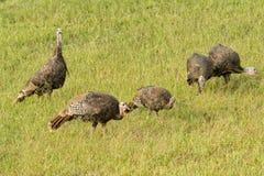 Flock of wild Turkeys foraging on a field. Flock of wild Turkeys foraging on a grassy autumn field Stock Photos
