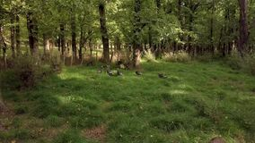 Wild turkeys at forest in New Zealand. A flock of wild turkeys in an oak forest in New Zealand stock footage