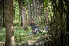Flock Of Wild Turkeys. Wild turkey walking around forest in Autumn. Galliformes Phasianidae Royalty Free Stock Photo