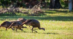 Flock of wild turkeys walk through field Royalty Free Stock Images